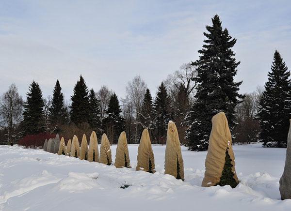 Укрытие на зиму хвойных растений