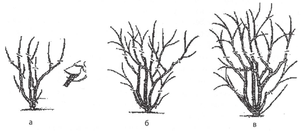 Части кустарника схема