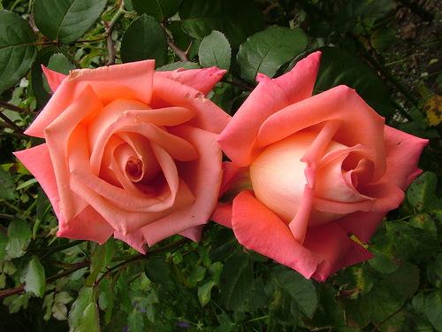 Где купить сорт розы фольклор какой подарок подарить мужчине стрельцу
