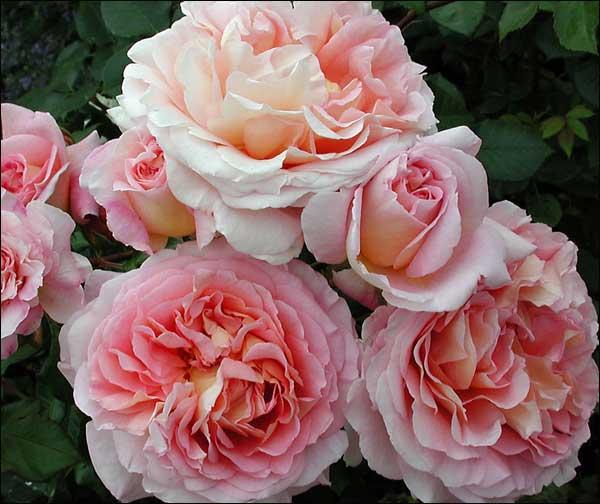 Купить розы абрахам дерби коньячные наборы подарок на юбилей