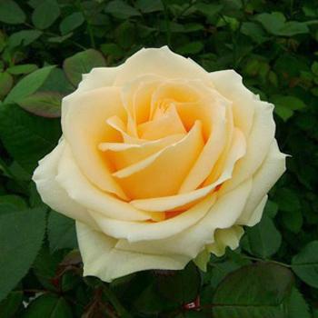 роза аваланш фото