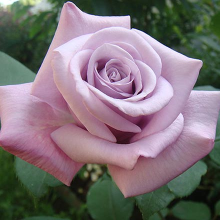Купить синие розы саженцы цветы почтой недорого многолетние с бесплатной доставкой