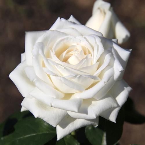 Розы срезка сорта купить заказать букет из мишек