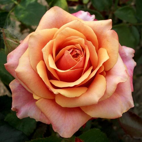 Роза чайно гибридная черри бренди