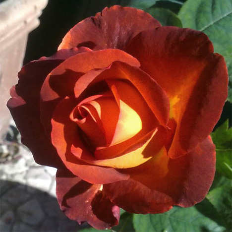 Сорта коричневые розы