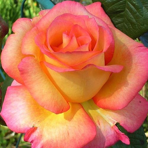 Чайные розы саженцы купить доставка цветов санкт-петербупг