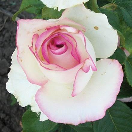 роза дольче вита фото описание