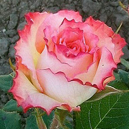 Чайно-гибридная роза дуэт