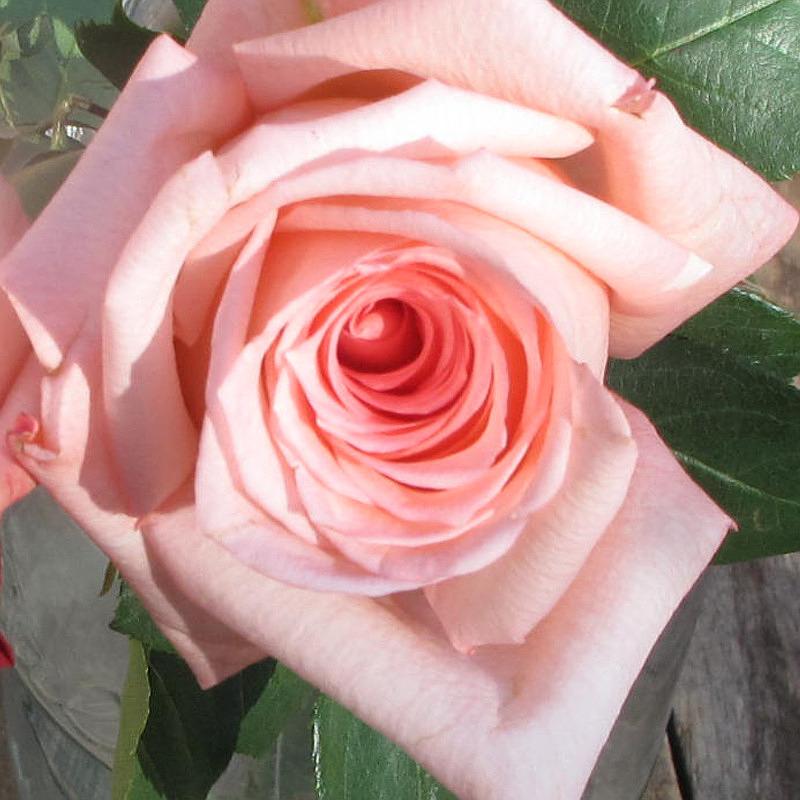 роза фото ангажемент