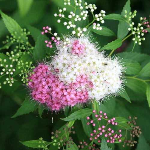 Цветок спирея посадка и уход