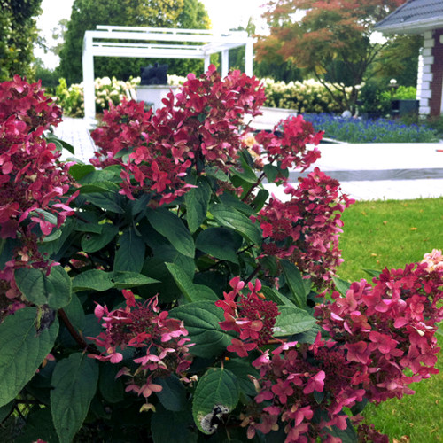 hydrangea paniculata wim 39 s red. Black Bedroom Furniture Sets. Home Design Ideas