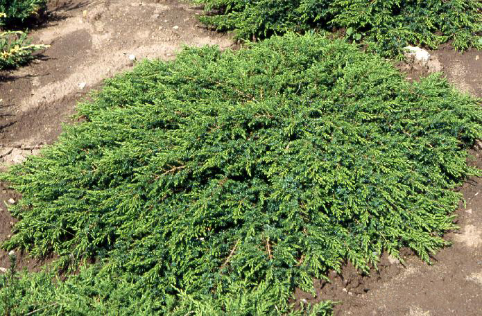 http://voodland.club/images/stories/virtuemart/product/juniperus_green-carpet1.jpg
