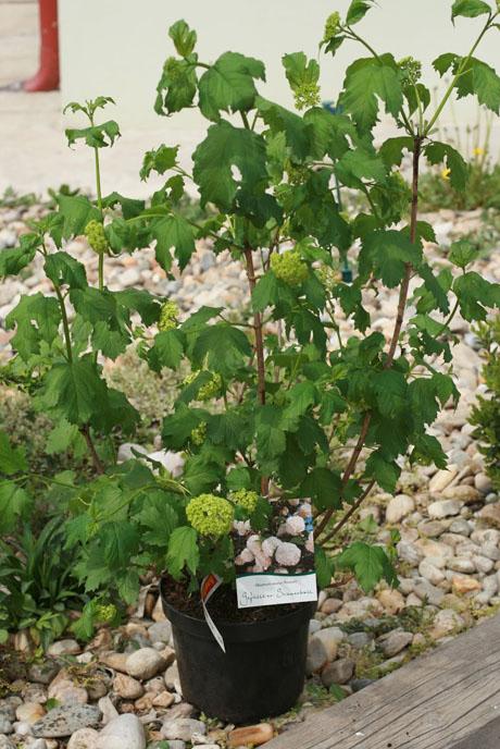 Как сажать калину: выращивание и уход за кустами 97