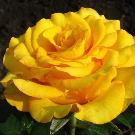 Купить чайно-гибридные розы искусственные цветы китай купить