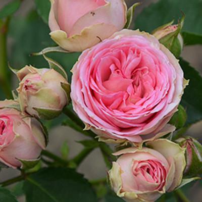Саженцы кустовой уральские розы купить заказ цветов с доставкой полтава
