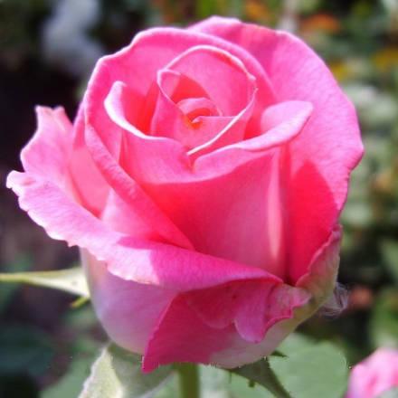 Двуцветные розы где купить в подарок любимому мужчине