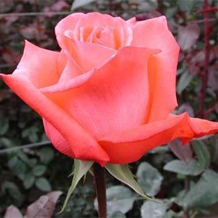 Розы из питомника купить доставка горшечных цветов