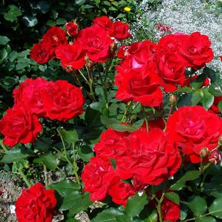 Розы нина купить розы английские купить саженцы