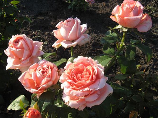 Купить оптом садовые розы живые цветы в вакууме самара вива ленд
