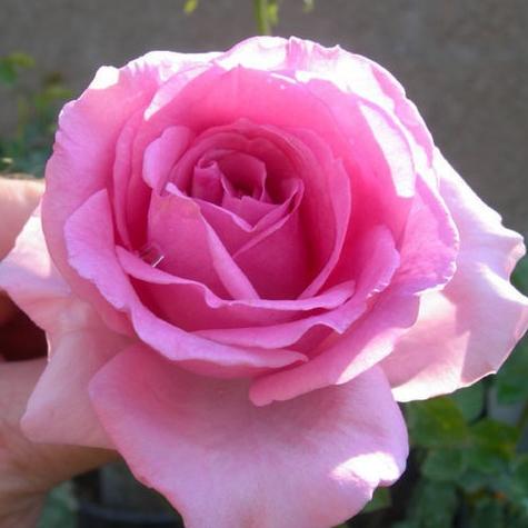 присцилла роза фото