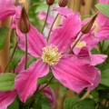 clematis-inspiration3