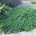 juniperus_blue_pacific18