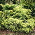 juniperus_golden_saucer1