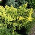 juniperus_king_of_spring