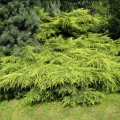 juniperus_mordigan_gold5