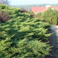 juniperus_pfitzeriana2