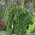 picea_abies_frohburg_7
