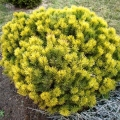 pinus-winter-gold1