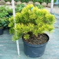 pinus-winter-gold3