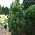 pinus_green-rocket14