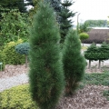 pinus_green_tower5