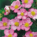 potentilla_newdawn4