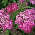spiraea_country_red1