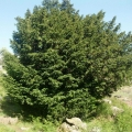 taxus_baccata_13