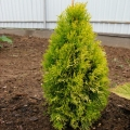 thuja_golden_anne1