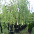 weeping_willow-(1)