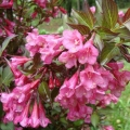 weigela_nana-purpurea1