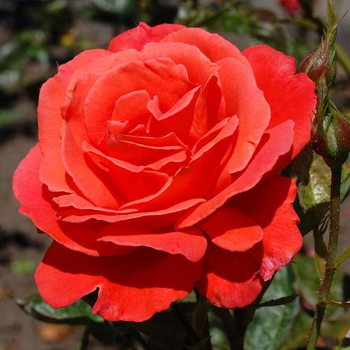 Чайно гибридные розы купить саженцы вазонные цветы полтава купить