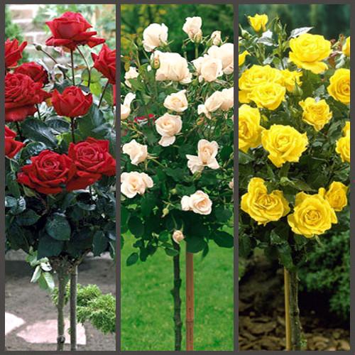 Розы на посадку купить оптом купить розы уфа цены
