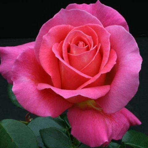 роза шакира фото описание