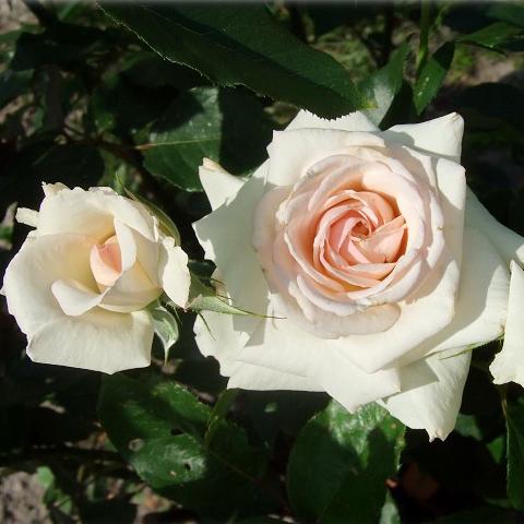 Роза шванензее купить