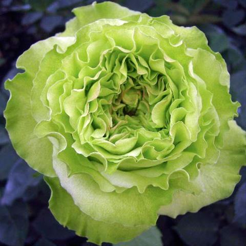 Купить зелёные розы интернет магазины по заказу цветов и с