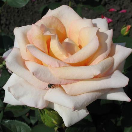 Версилия роза чайно гибридная