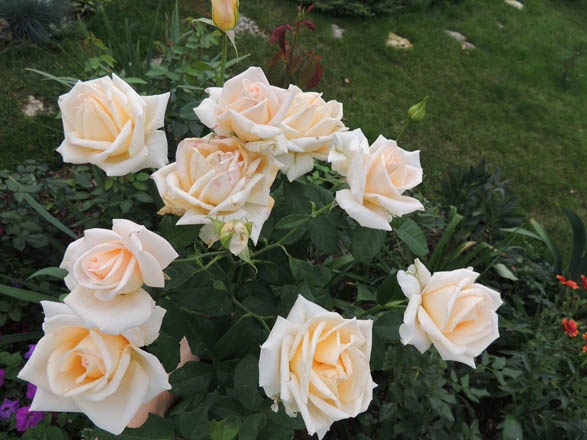 фото и описание роза версилия