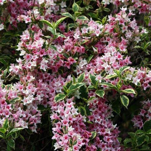Вейгела Нана Ва�иега�а weigela florida nana variegata