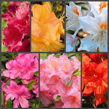 Азалия Цветок Фото Садовая